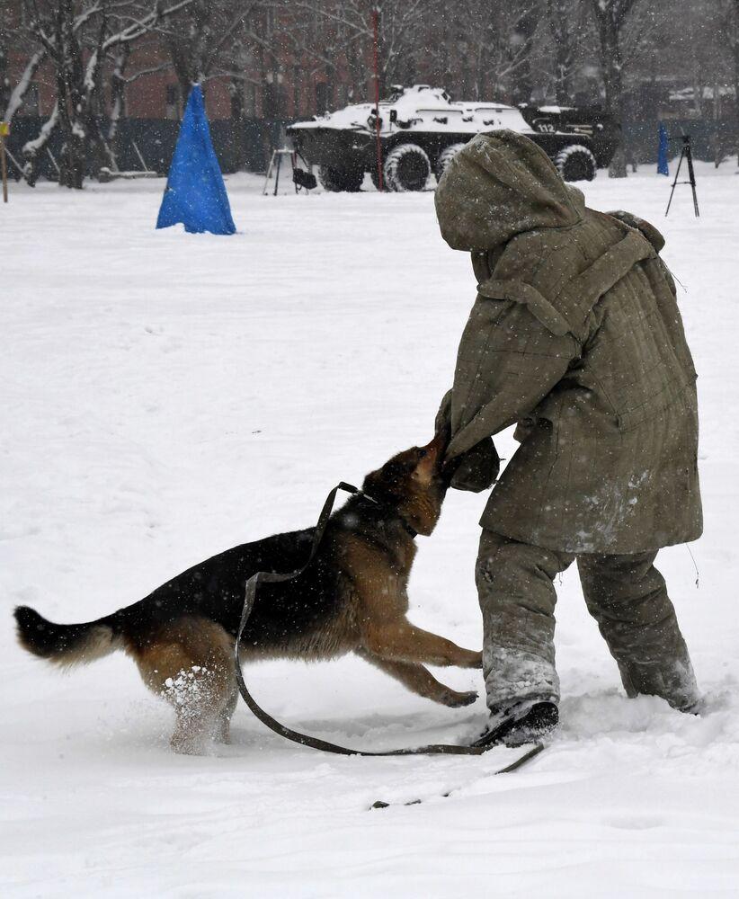 Služební pes napadá smyšleného zločince. Soutěž vojenských kynologů Věrný přítel v Ussurijsku, Rusko.