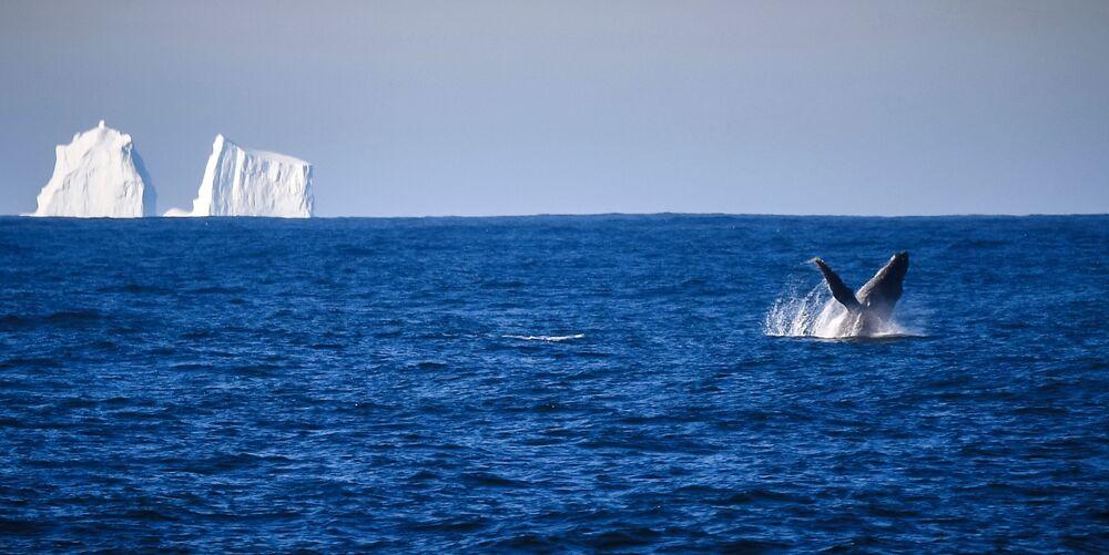 Keporkak poblíž ostrova Adelaide během plavby na antarktickou stanici Bellingshausen