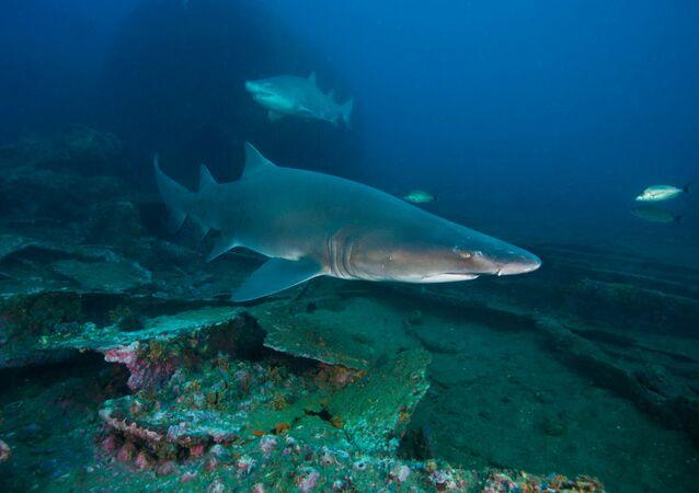 Žralok tygří