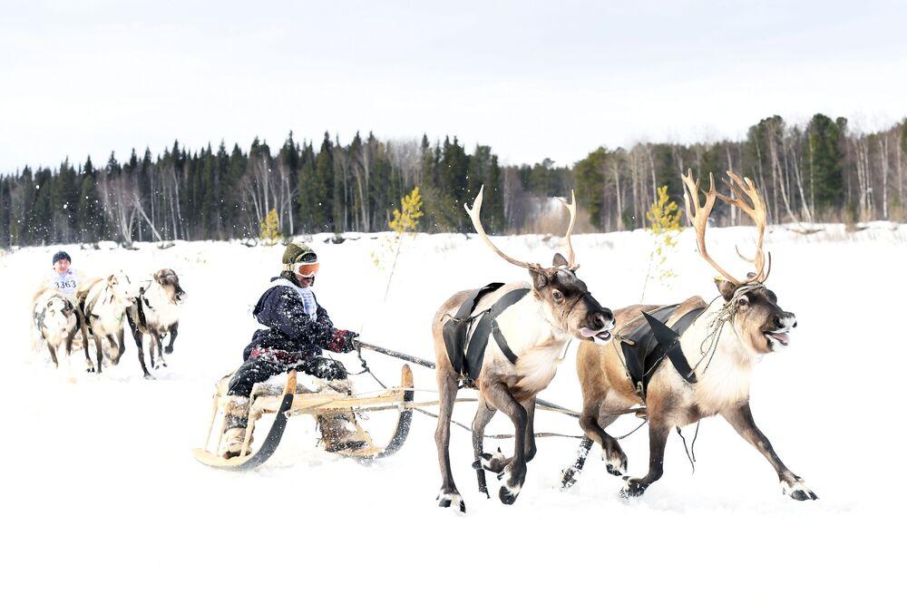 Obyvatelé se účastní závodů na saních poháněných soby v Yamalu