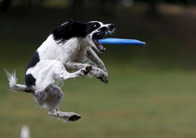 Pes na soutěži ve frisbee v Moskvě.