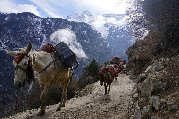 Muly nesou prázdné plynové lahve během preventivních opatření proti koronaviru COVID-19, Nepál - Sputnik Česká republika