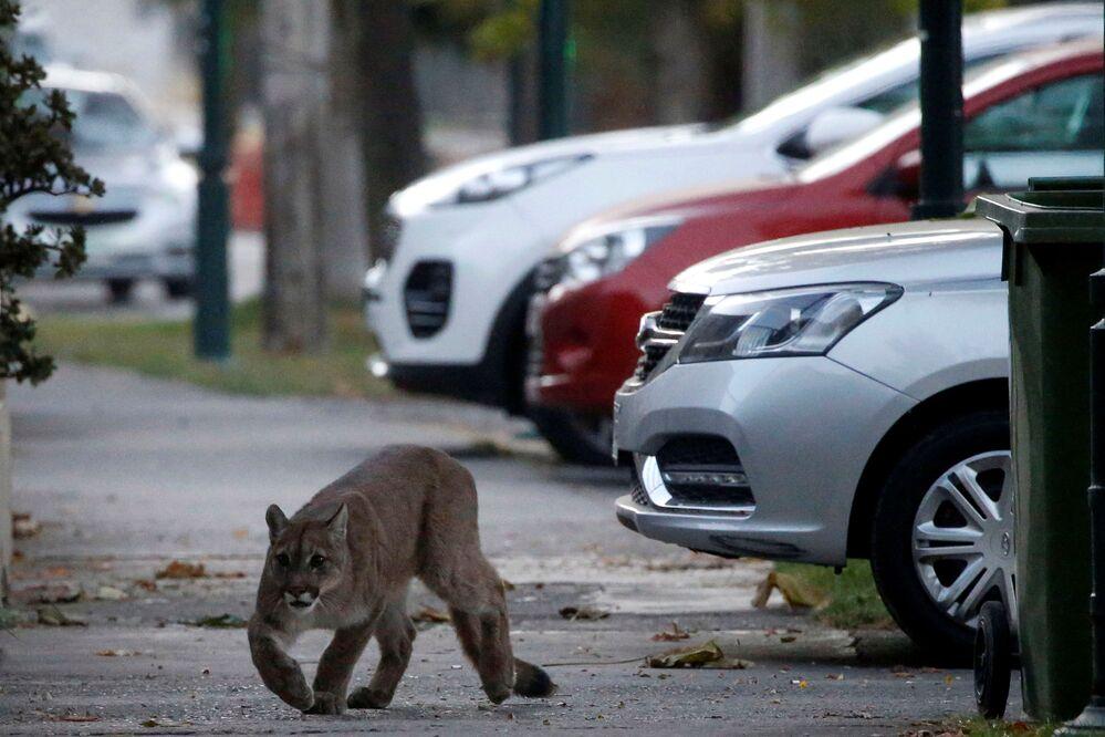 Puma na ulici Santiago