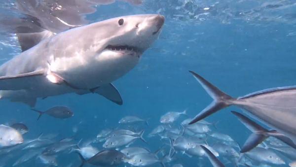 Zraněný žralok bílý poprosil o pomoc potápěče - Sputnik Česká republika