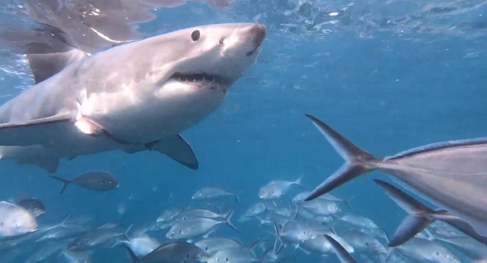 Zraněný žralok bílý poprosil o pomoc potápěče