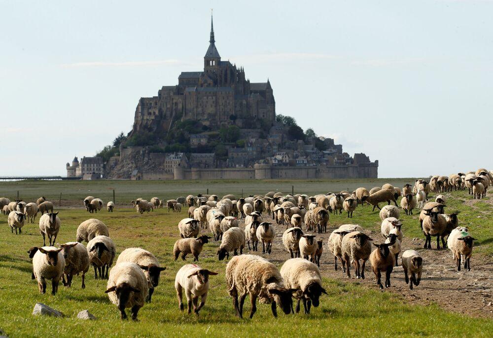 Ovce na pastvině v Normandii, Francie