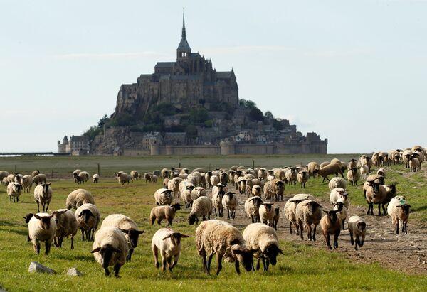 Ovce na pastvině v Normandii, Francie - Sputnik Česká republika