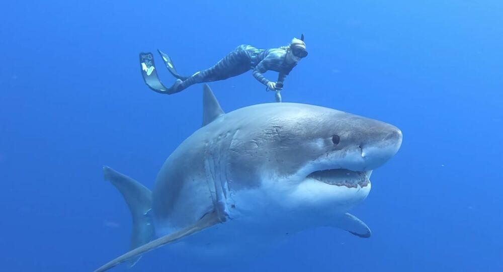 Potápěčka Ocean Ramsayová plovoucí s velkým žralokem bílým