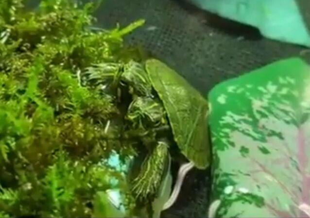 Vzácné dvouhlavé želvátko
