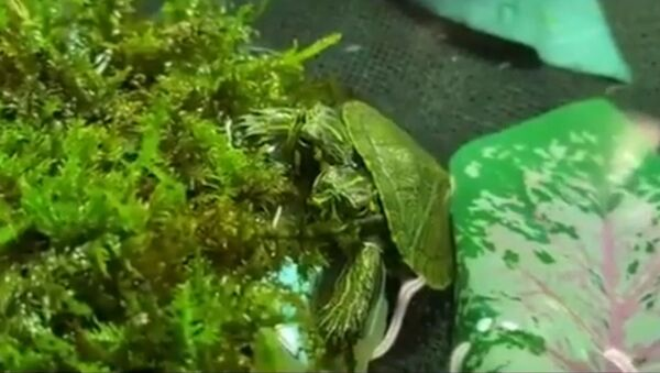 Vzácné dvouhlavé želvátko - Sputnik Česká republika