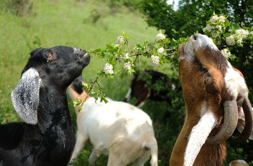 Kozy anglo-núbijského plemene na soukromé farmě v Krasnodarském regionu, Rusko