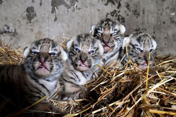 Novorozená mláďata tygra amurského v safari parku Tajgan na Krymu - Sputnik Česká republika