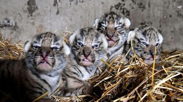 V krymském safari-parku Tajgan se narodili tygříci amurští. - Sputnik Česká republika