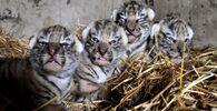 V krymském safari-parku Tajgan se narodili tygříci amurští.