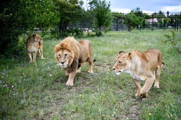 """""""V zoo to není tak ojedinělý případ, kdy lvice nebo tygřice nepřijímají svá mláďata. Důvodem může být, že po prvním porodu jsou matky nezkušené, nerozumí, co dělat,"""" vysvětluje Zubkov.  - Sputnik Česká republika"""