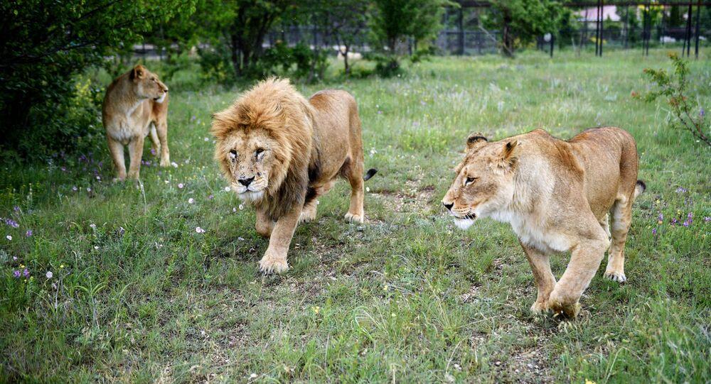 Lev s lvice na území safari parku v Taiganu na Krymu