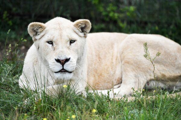 Bílá africká lvice v safari parku Tajgan.  - Sputnik Česká republika