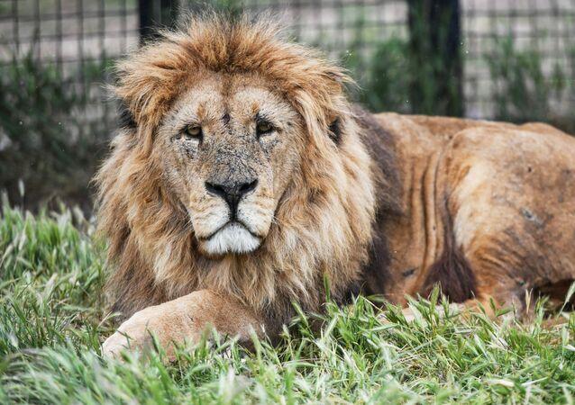 Lev v safari parku Taigan na Krymu