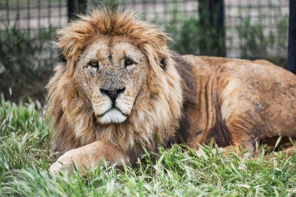 Lev v parku Tajgan. - Sputnik Česká republika