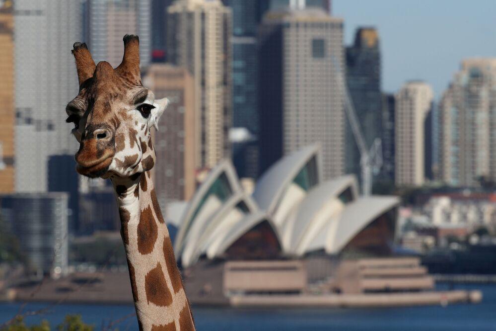 Žirafa v sydneyské zoo