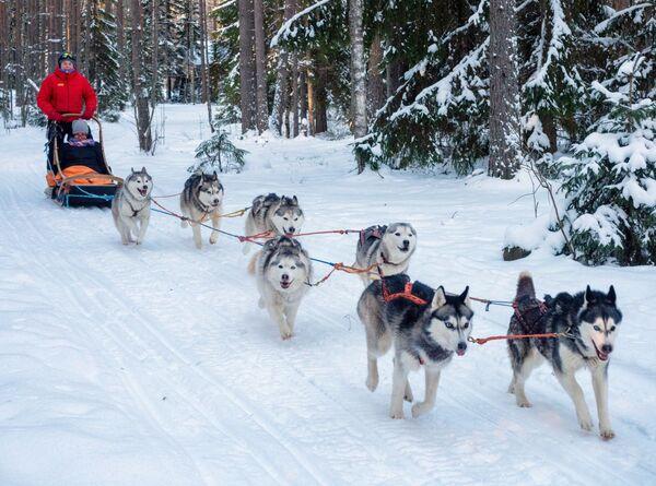 Turisté jezdí se psím spřežením na území turistického komplexu Karjala Park v Karelské republice - Sputnik Česká republika