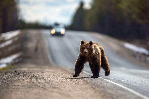 Medvěd hnědý po zimním spánku na federální dálnici Petrohrad – Murmansk poblíž města Bělomorsk v Karélii - Sputnik Česká republika