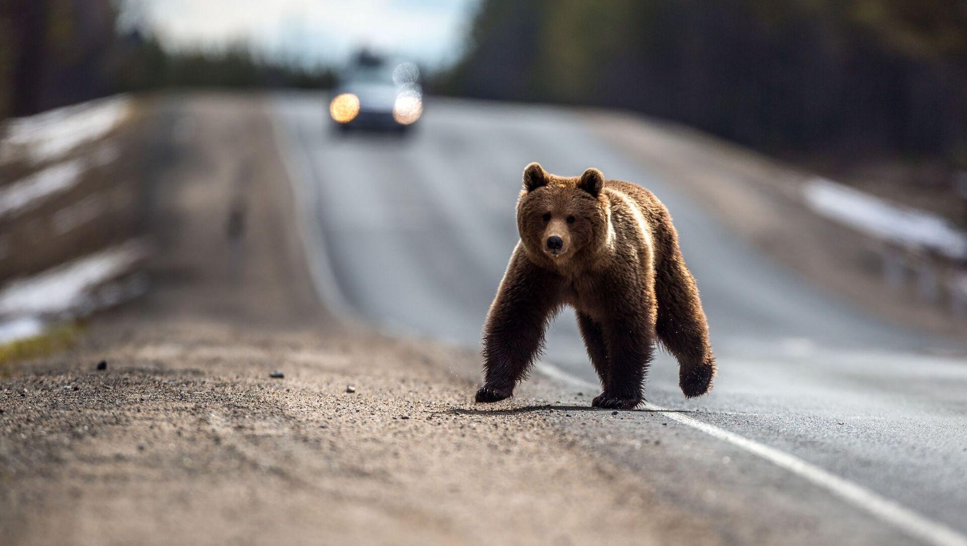 Medvěd po zimním spánku přebíhá přes silnici v ruské Karélii - Sputnik Česká republika, 1920, 18.03.2021