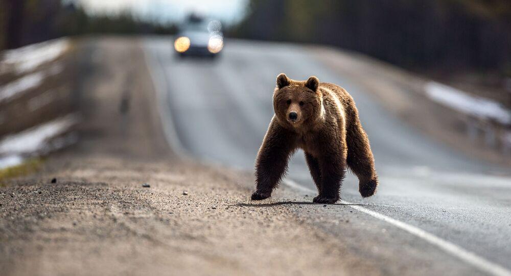 Medvěd po zimním spánku přebíhá přes silnici v ruské Karélii