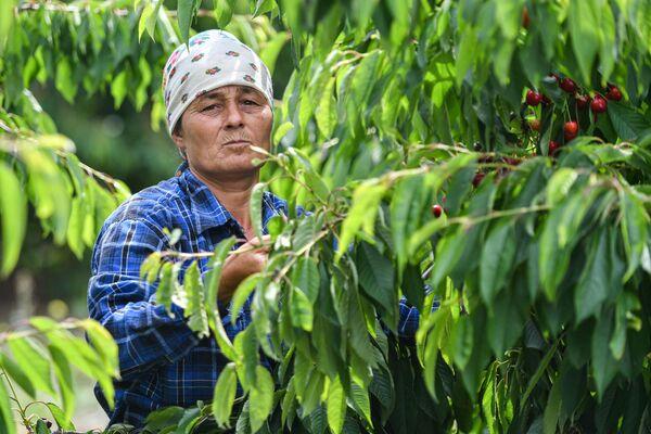 Triumf červené: sklizeň třešní na Krymu   - Sputnik Česká republika