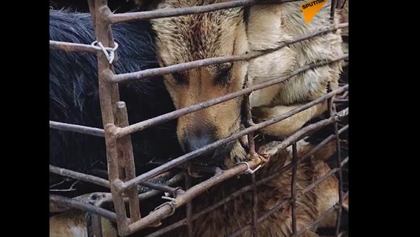 Přes 15 tisíc psů jede na smrt. Zvířata zabijí na festival psího masa v Číně - Sputnik Česká republika