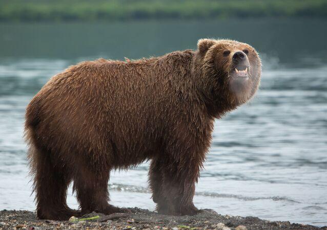 Medvěd na Kamčatce