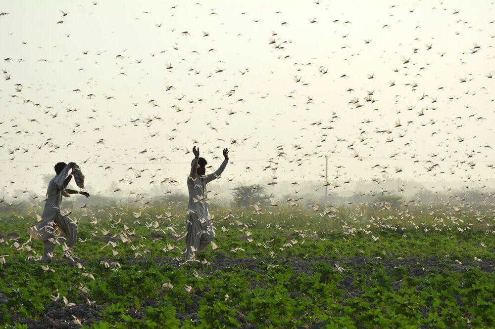 Zemědělci během invaze kobylek v Pákistánu