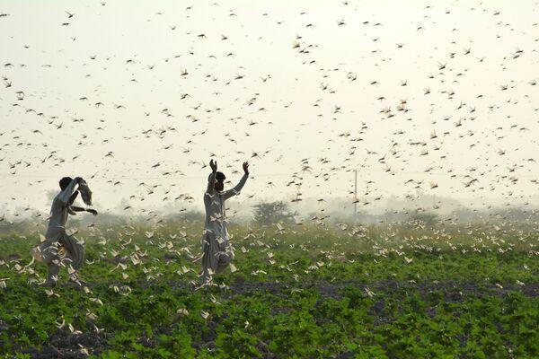 Zemědělci během invaze kobylek v Pákistánu - Sputnik Česká republika
