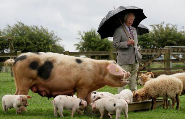 Prince Charles během návštěvy farmy Cotswold Farm Park, Spojené království - Sputnik Česká republika