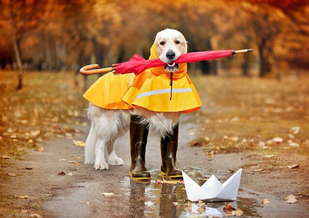 Zlatý retrívr v pláštěnce, s deštníkem a botami