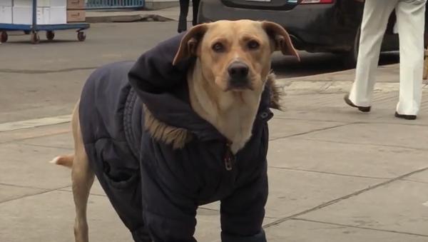 Už několik dní tento pes u nemocnice čeká na svého majitele nakaženého koronavirem - Sputnik Česká republika