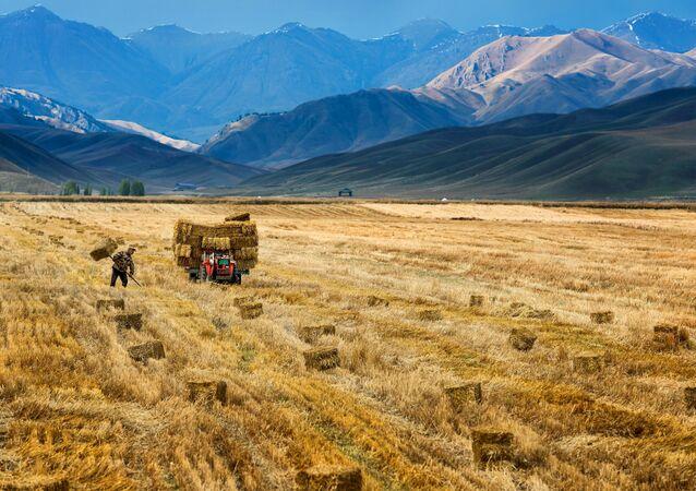Čínský farmář sklízí úrodu