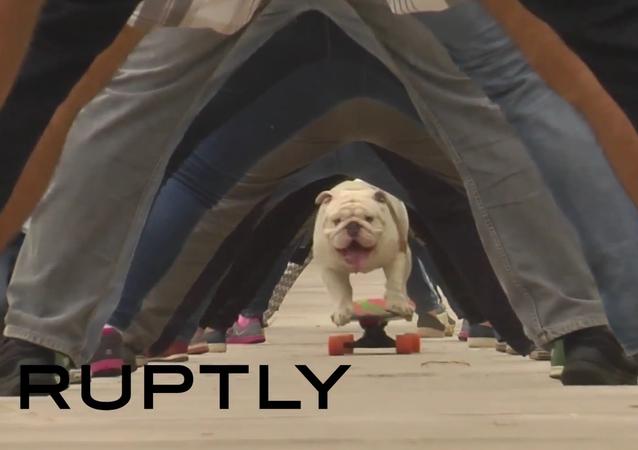 Buldok-rekordman projel na skateboardu mezi nohama 30 lidí