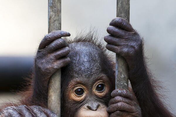 Orangutaní mládě čeká na odjezd domů do Indonésie - Sputnik Česká republika