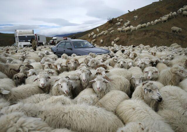 Auta v obklíčení ovec v Tbilisi