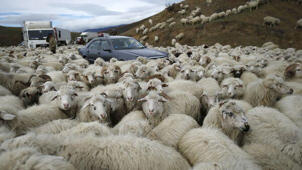 Auta v obklíčení ovec v Tbilisi - Sputnik Česká republika