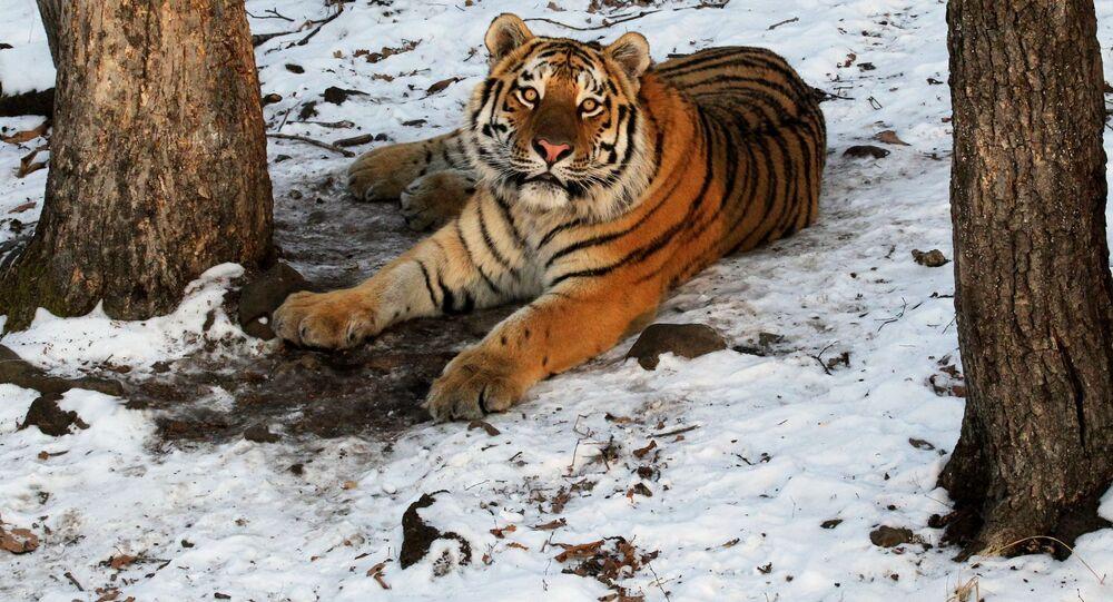 Tygr amurský