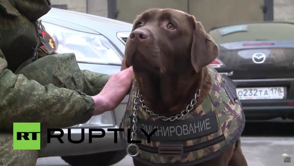 Labrador Džoli předvedl neprůstřelnou vestu pro psy - Sputnik Česká republika