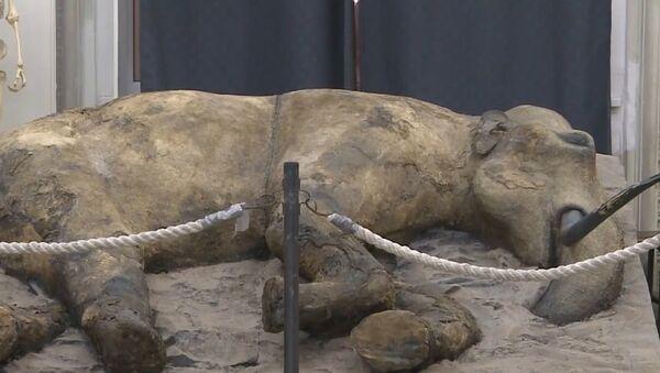Russia: Zhenya the 37,000-year-old baby mammoth on display in St. Petersburg - Sputnik Česká republika