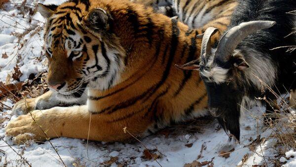 Kozel Timur a tygr Amur v Přímořském safari-parku - Sputnik Česká republika