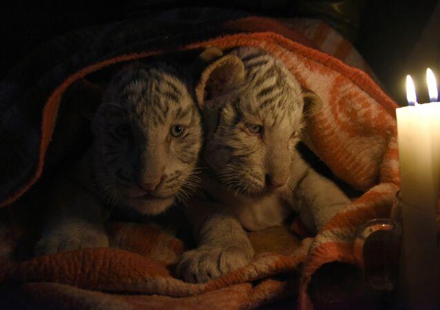 Bengálští tygříci v Jaltské zoologické zahradě