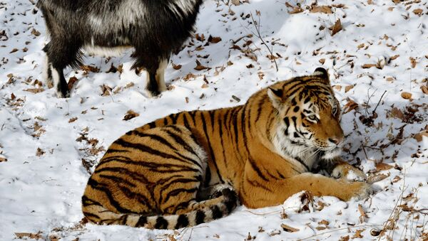 Přátelství kozla Timura a tygra Amura - Sputnik Česká republika