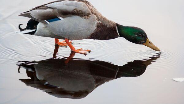 Na pobřeží jezera a na jeho ostrovech v rákosí hnízdí kachny, husy a labutě - Sputnik Česká republika