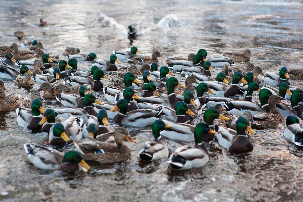 Kachny na Oněžském jezeře v Karélii