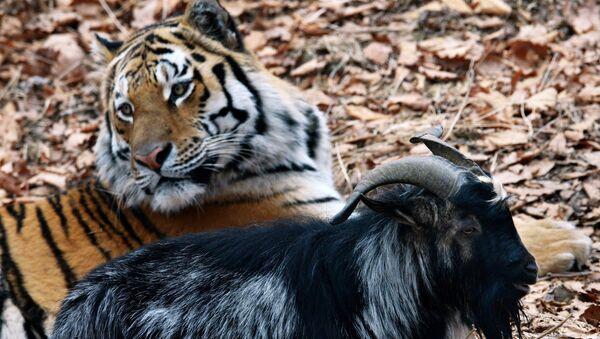 Tygr Amur a kozel Timur - Sputnik Česká republika
